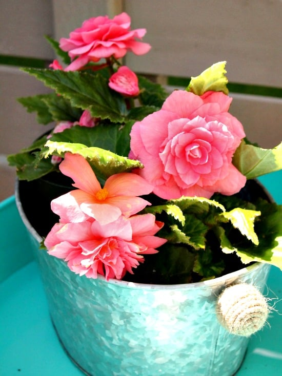 Gorgeous pink begonias as part of a back yard garden tour.