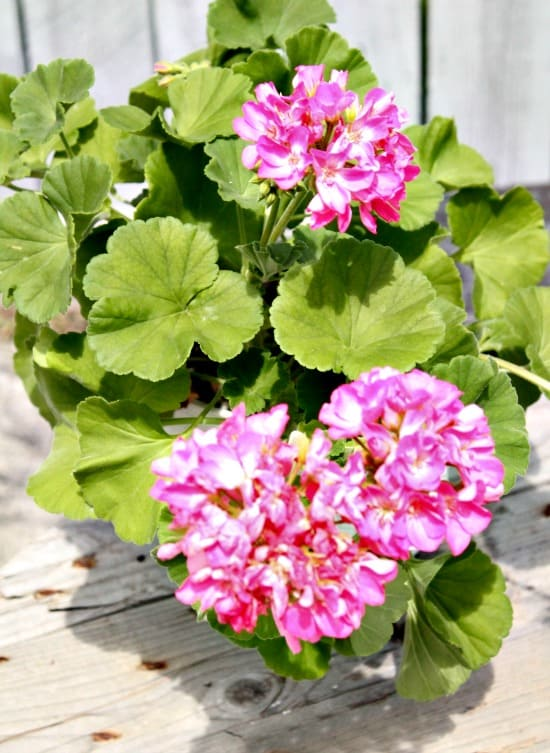 Geraniums in a small garden.