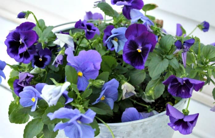 Purple pansies in a bucket as part of a back yard small garden.
