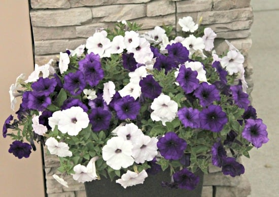 Large basket of petunias on the front porch of a small yard garden tour.