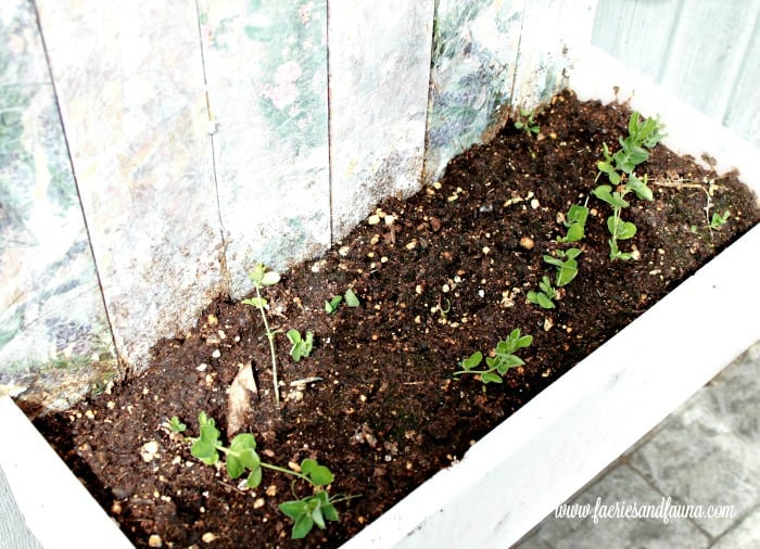 DIY wooden flower box planted with sweet peas.