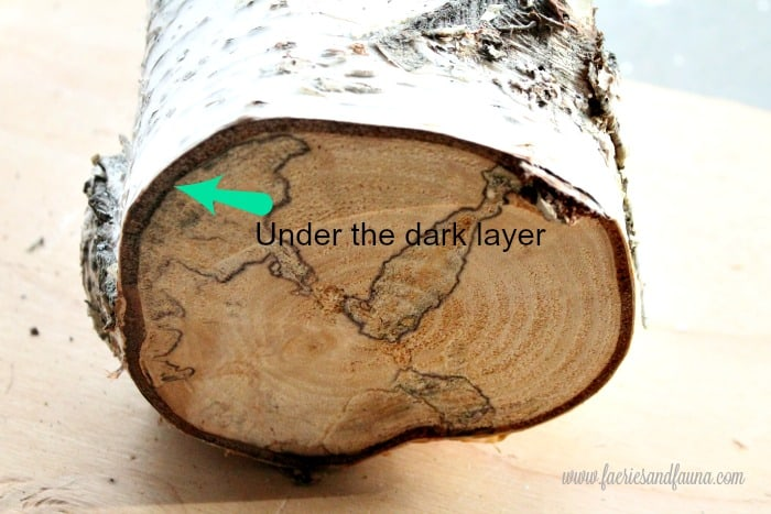 A side viewof birch log showing the tree layers.
