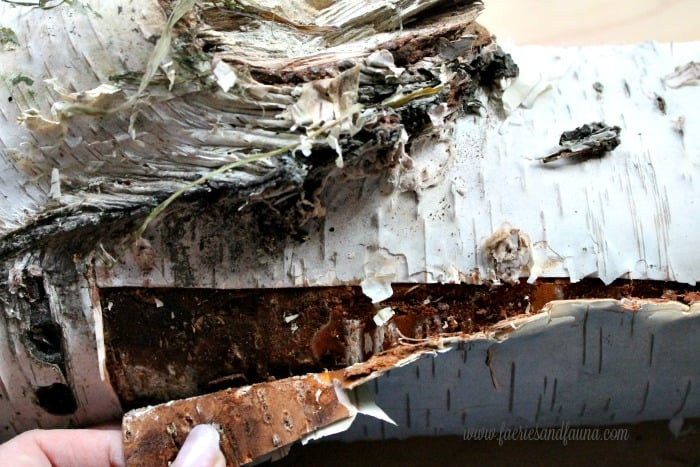 Harvesting birch bark by pulling the outer birch bark away from the wood.