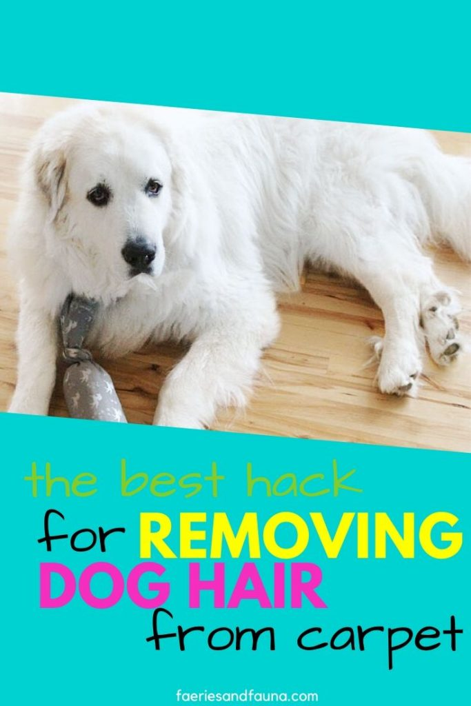 A large long haired white dog, who dirties a carpet.